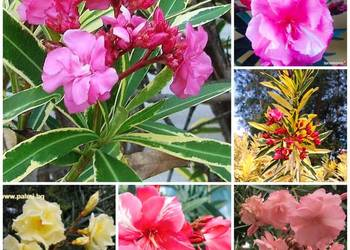 Pstry pachnący oleander