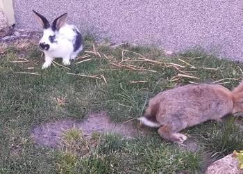 Małe króliki dużo.