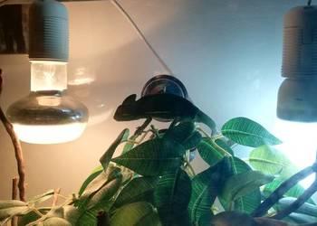 Kameleon jemeński z terrarium
