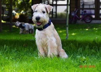 Szczenięta Irish Soft Coated Wheaten Terrier