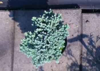 Jałowiec łuskowaty Blue Star Juniperus squamata 'Blue Star'