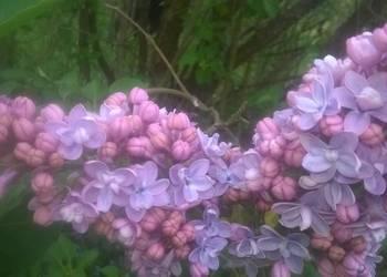 Bez lilak,fioletowy, podwójny,mega sadzonka,Syringa vulgaris