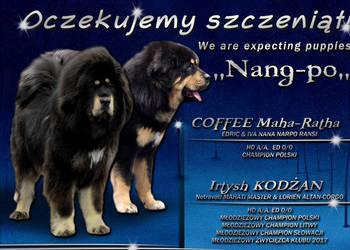 Mastif Tybetański szczenięta ZKwP