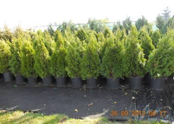 Tuje żywopłotowe oraz ponad 200 odmian innych krzewów !