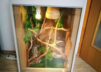 Kameleon jemeński + terrarium