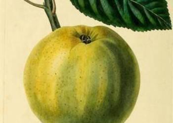 OWOCE VII      reprodukcje XIX w. grafik do wystroju wnętrz