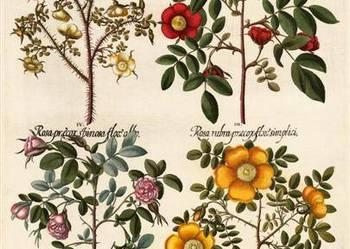KWIATY 1713 r.  II  reprodukcje XVIII w.  grafik do wystroju