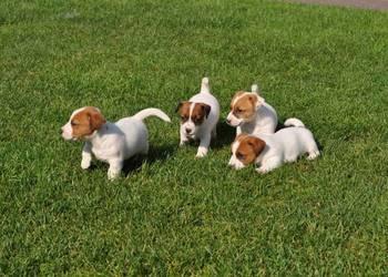 Jack Russell Terrier szczenięta Zamość