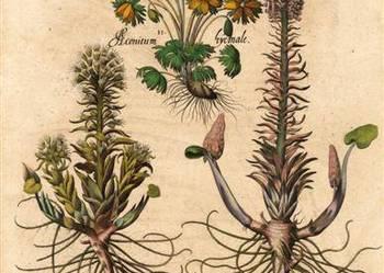 KWIATY 1713 r. -Botanika  reprint grafik do wystroju wnętrza