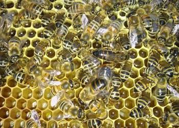 Matki pszczele i odkłady