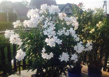 Sadzonki oleander kremowy