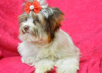 MINI Biro Yorkshire Terrier suczka rodowód