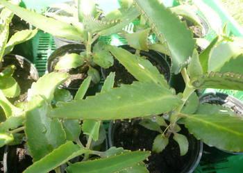 Żyworódka pierzasta  lecznicza  piękne rośliny eko 4 - 40 cm