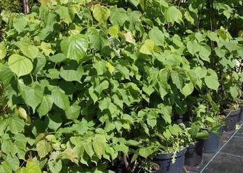 Lipa drobnolistna drzewka 70-80cm
