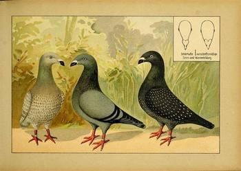 GOŁĘBIE  (1)   reprodukcje XIX w. grafik do  wystroju wnętrz