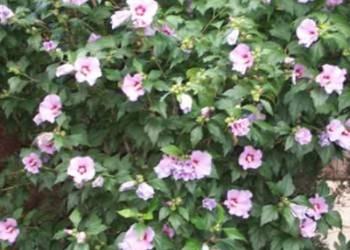 Hibiskus - róża syryjska
