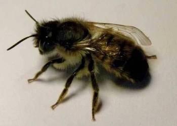 Murarka ogrodowa, pszczoła samotnica, kokony