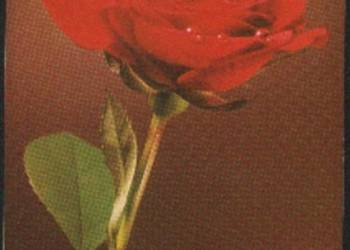 K.Poczt.  Róża czerwona