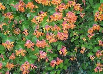Wiciokrzew pomorski kolor kwiatu taki jak na zdjęciu i biało