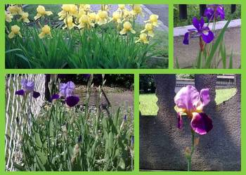 irysy żółte,fioletowe o dużych kwiatach