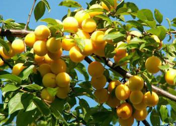 Śliwka mirabelka sadzonka 1,5m drzewa owocowe