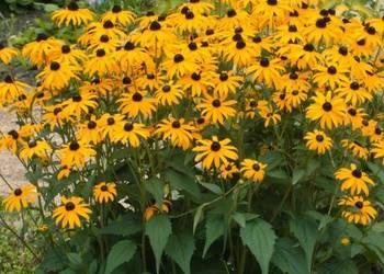 Rudbekia dwubarwna,błyskotliwa, sadzonka,ogród rustykalny