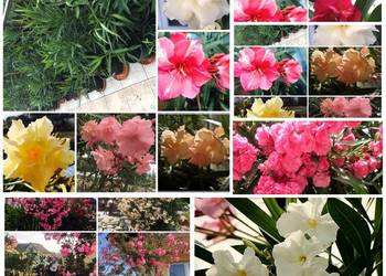 Sadzonki oleander pachnące