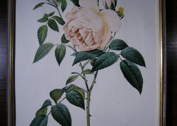 Obrazek - róża