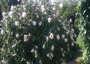 ketmia syryjska, hibiskus - sadzonki