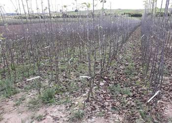 Drzewka owocowe, jabłoń grusza śliwa wiśnia sadzonki