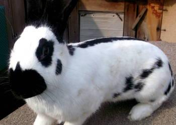 Hodowla królików rasowych i nie tylko. Sprzedaż