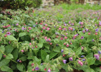 Miodunka plamista,Pulmonaria officinalis, miód, producent