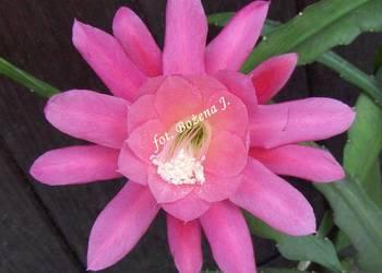 Epiphyllum - NEON -- --R-A-R-Y-T-A-S--- Epifilum--Kaktus