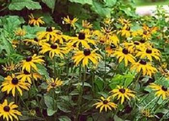 RUDBEKIA,  sadzonki, dom, ogród, byliny, kłącza,kwiaty,