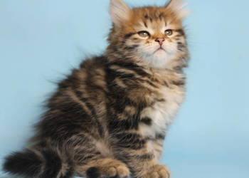 Koty Syberyjskie Bez Rodowodu Sprzedajemypl