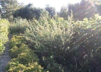 liguster mahonia pigwowiec modrzew catalpa wierzba jasmin