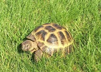 Żółw stepowy z całym oporządzeniem wraz z terrarium