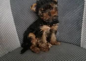 York Terrier -Sunia