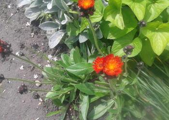 jastrzebiec -szybko rosnaca zimujaca bylina