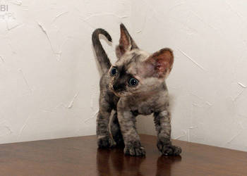 Koty Devon Rex Kot Rasy Devon Rex Na Sprzedaż Sprzedajemypl