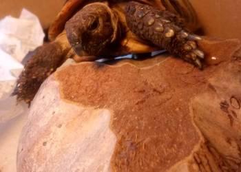 Żółw grecki lądowy