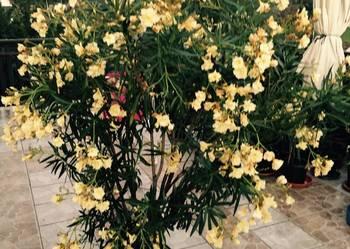 Złoty pachnący oleander