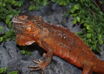 Legwan Zielony RED (Iguana Iguana)