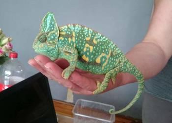 Samiec kameleon jamejski 18 miesięcy