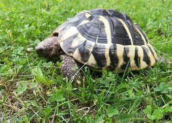 Żółw grecki Testudo Hermani
