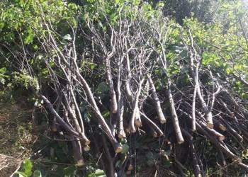 Oddam gałęzie/drzewo/drewno z wycinki