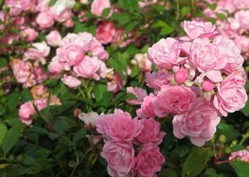 Róże okrywowe , krzewy róż , róże , sadzonki róż