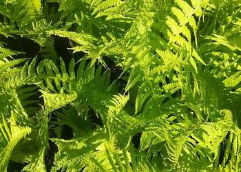 Paproć ogrodowa, pióropusznik strusi, roślina cieniolubna