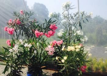 Sadzonki oleander Sadzonki sá z kwiatòw widoczny na zdiencia