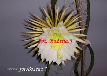 Królowa Jednej Nocy -- S. Grandiflorus - Epiphyllum nr 4